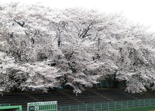 市民球場の桜